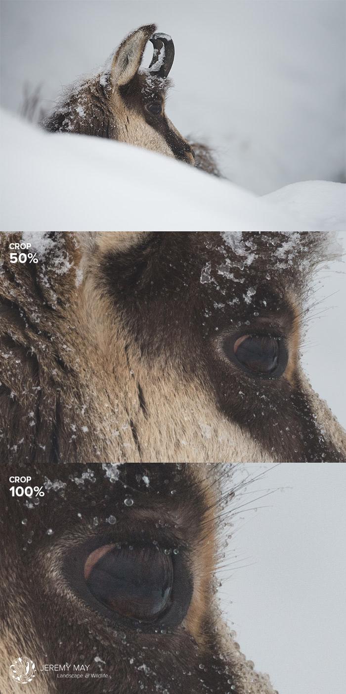 Un chamois sur les crêtes vosgiennes en plein hiver (exif : 600 mm - f/6.3 - 1/320s - 450 ISO)